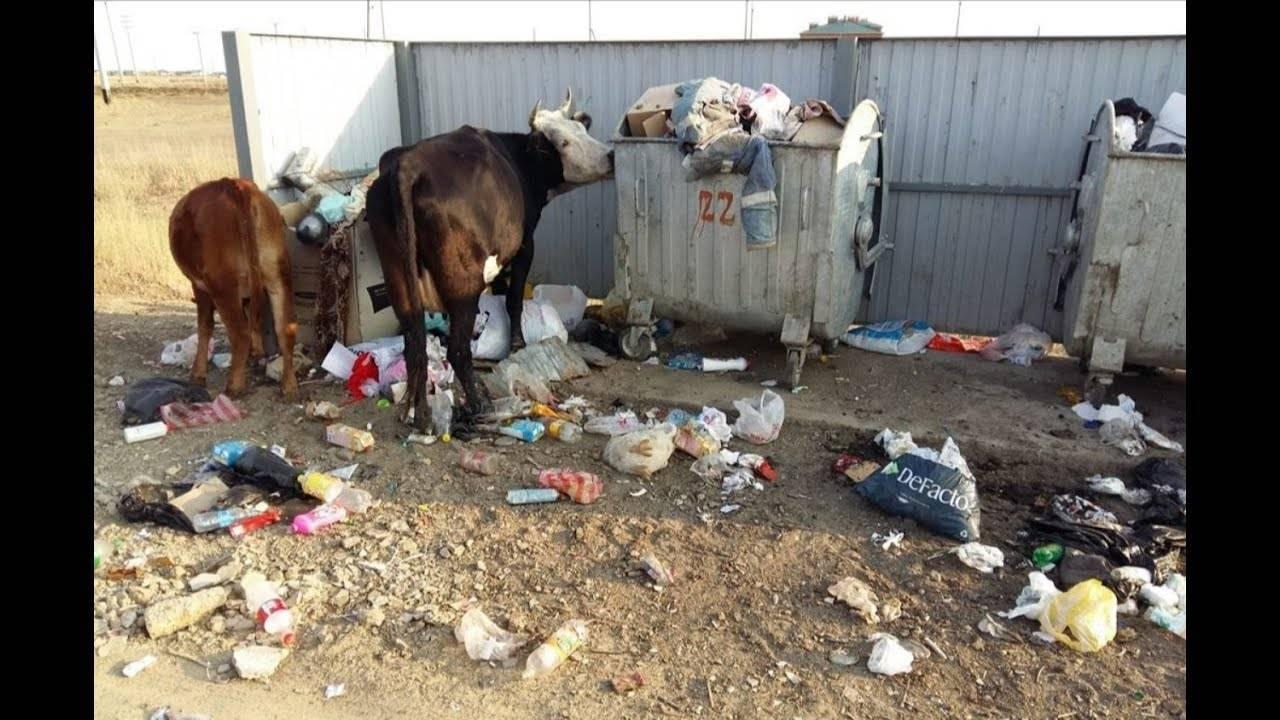 Ацидоз у коров: симптомы и лечение этого заболевания рубца желудка и каковы причины такого недуга, что включает в себя доврачебная помощь?