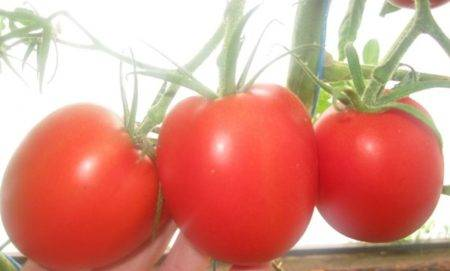 Получаем высокий урожай при минимальных затратах и рисках, выращивая помидор «колхозный урожайный»