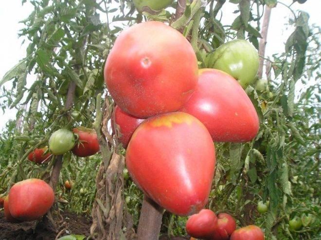 Томат розовый фламинго: описание сорта, выращивание и урожайность с фото