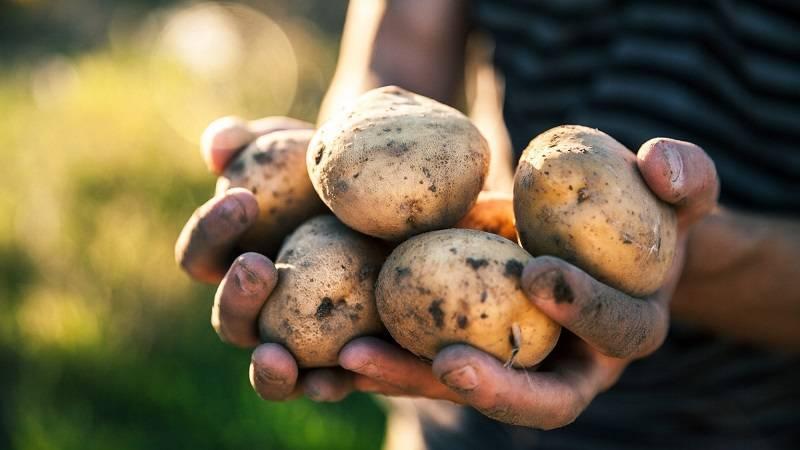 Сорт картофеля зорачка: описание и характеристика, отзывы