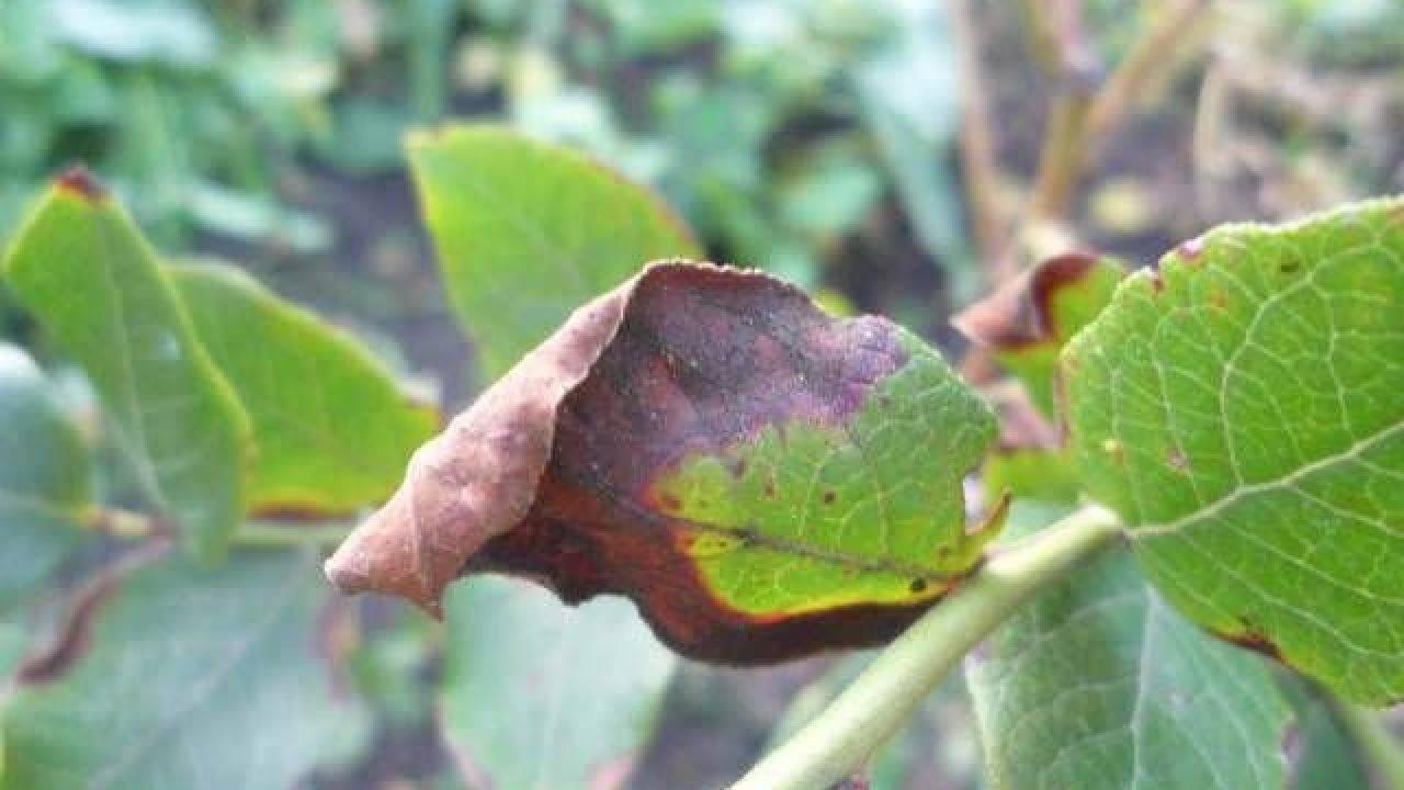 Проблемы засыхания вишни: пути решения