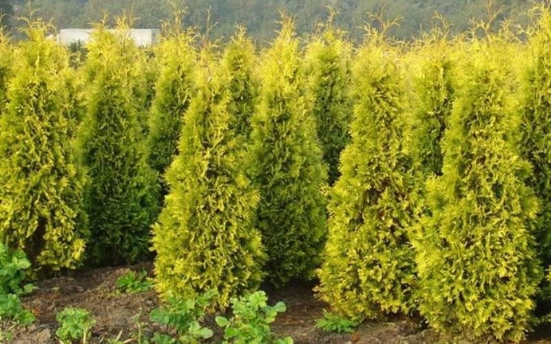 Хвойные растения для сада и дачи: фото с названиями, в том числе карликовые, тенелюбивые и другие