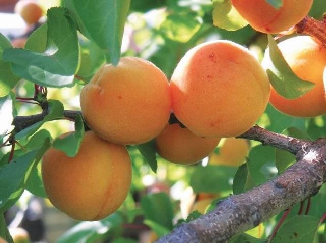 Сорта абрикосов для средней полосы россии