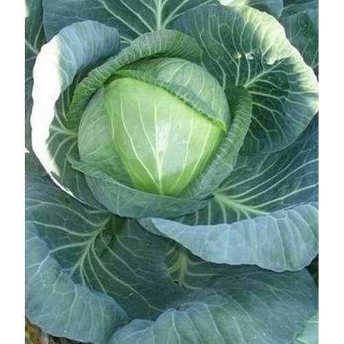Семена капусты белокочанной, лучшие сорта для открытого грунта с описанием и фото