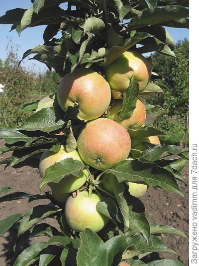 Колоновидная яблоня сорта васюган