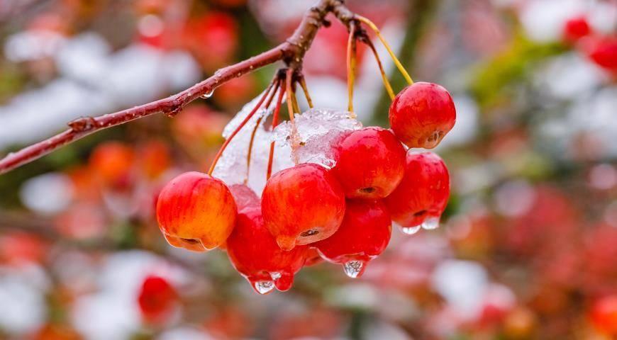 Китайка золотая ранняя: описание яблони, особенности посадки