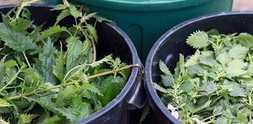 Крапива как удобрение, как приготовить и использовать?