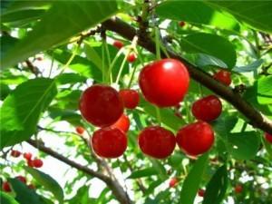 Черешня донецкий уголек: описание сорта, фото, выращивание