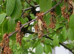 Подкормка вишни после цветения: выбор удобрений, количество