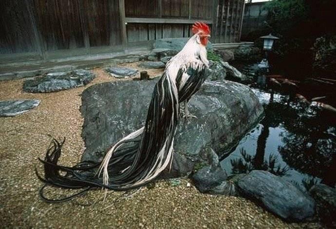 Куры породы феникс (20 фото): описание кур и петухов, правила их содержания и разведения