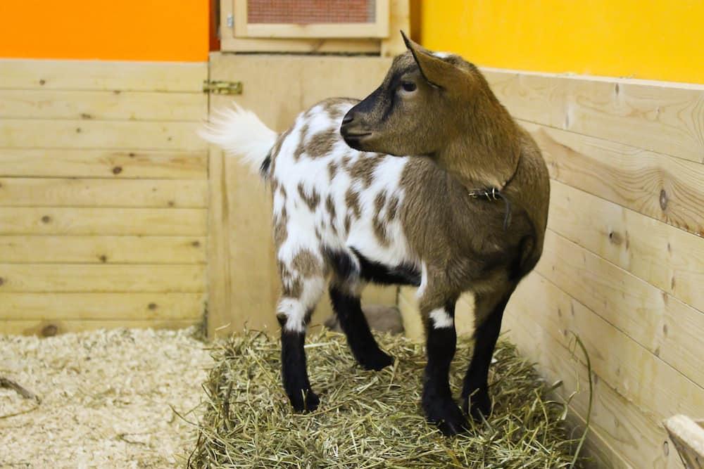 Камерунская карликовая коза — описание породы