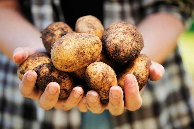 Ласунок сорт картофеля