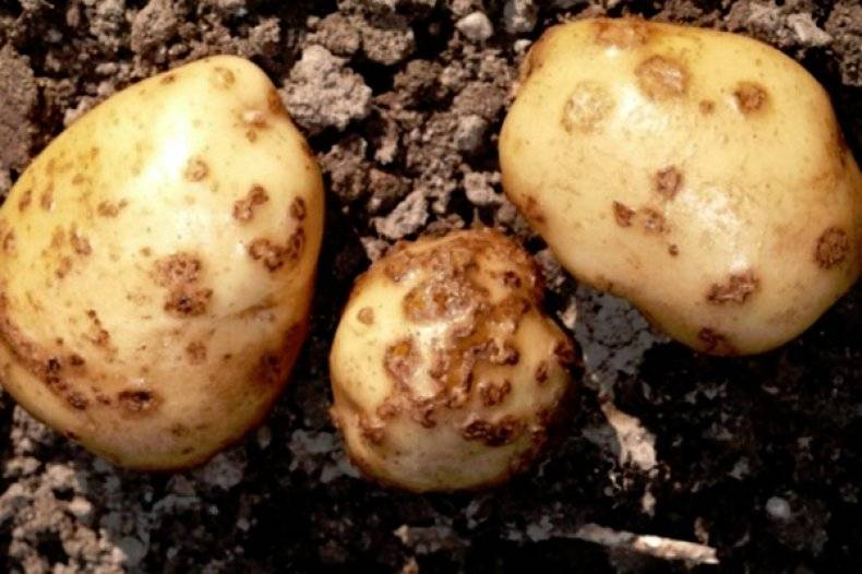 Черная парша (ризоктониоз) картофеля: описание и методы борьбы