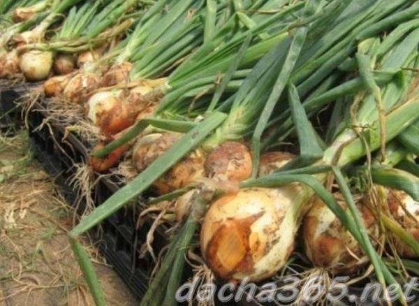 Лук штутгартер ризен: описание сорта и отзывы земледельцев