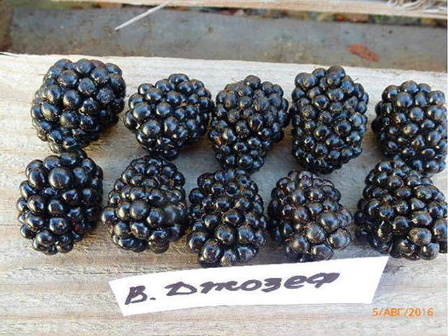 Ежевика черный принц — описание сорта, характеристика, выращивание, фото и отзывы