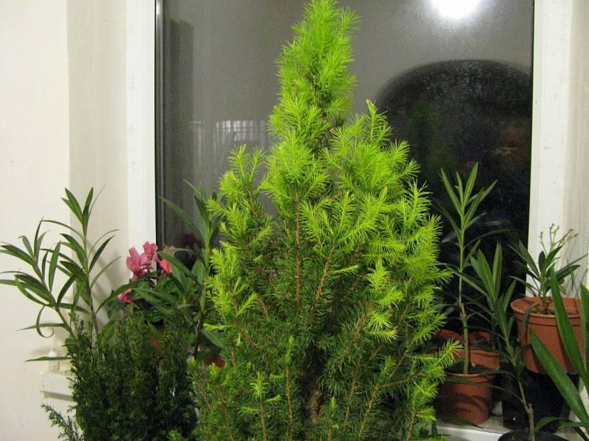 Корейская пихта – тонкости выращивания и посадки в саду