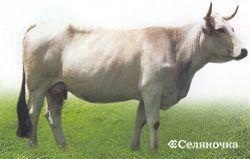 Симментальская порода коров