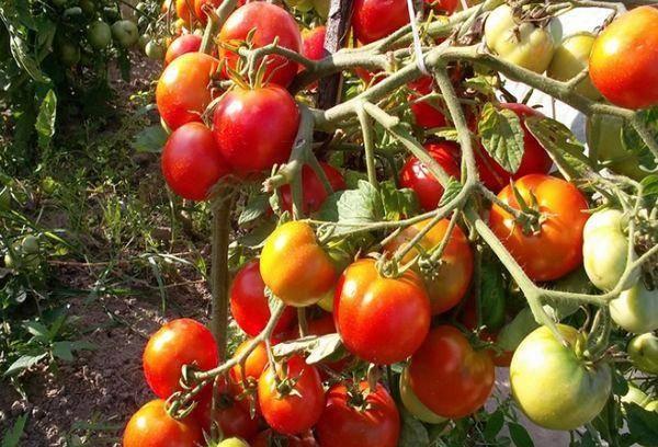 Очень ранний томат бони мм: положительные стороны и минусы культивирования