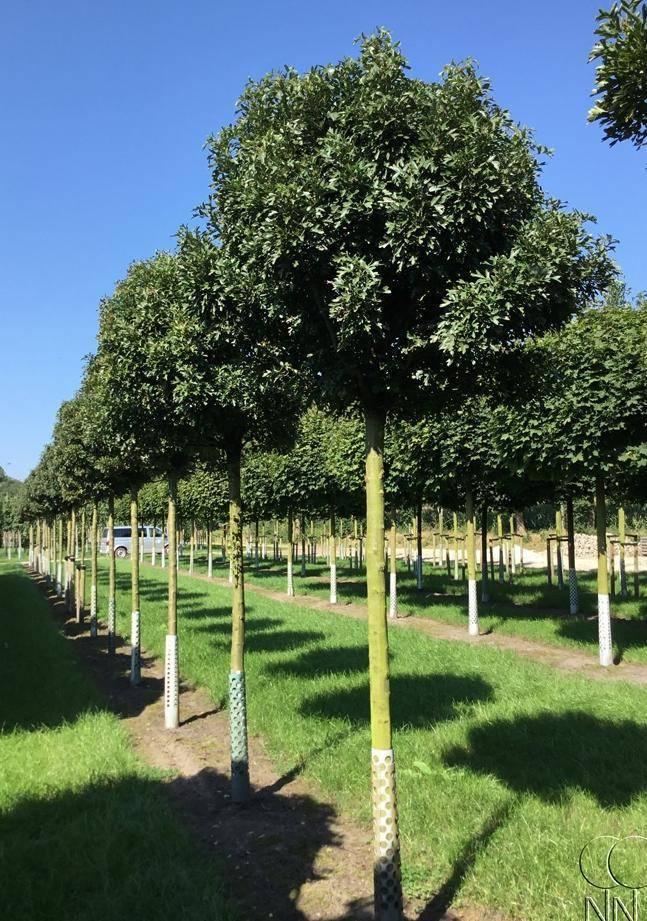 Боярышник декоративные деревья и кустарники. декоративные боярышники – сорта, выращивание и размножение