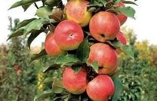 Колоновидная яблоня Васюган: описание, опылители, фото и отзывы