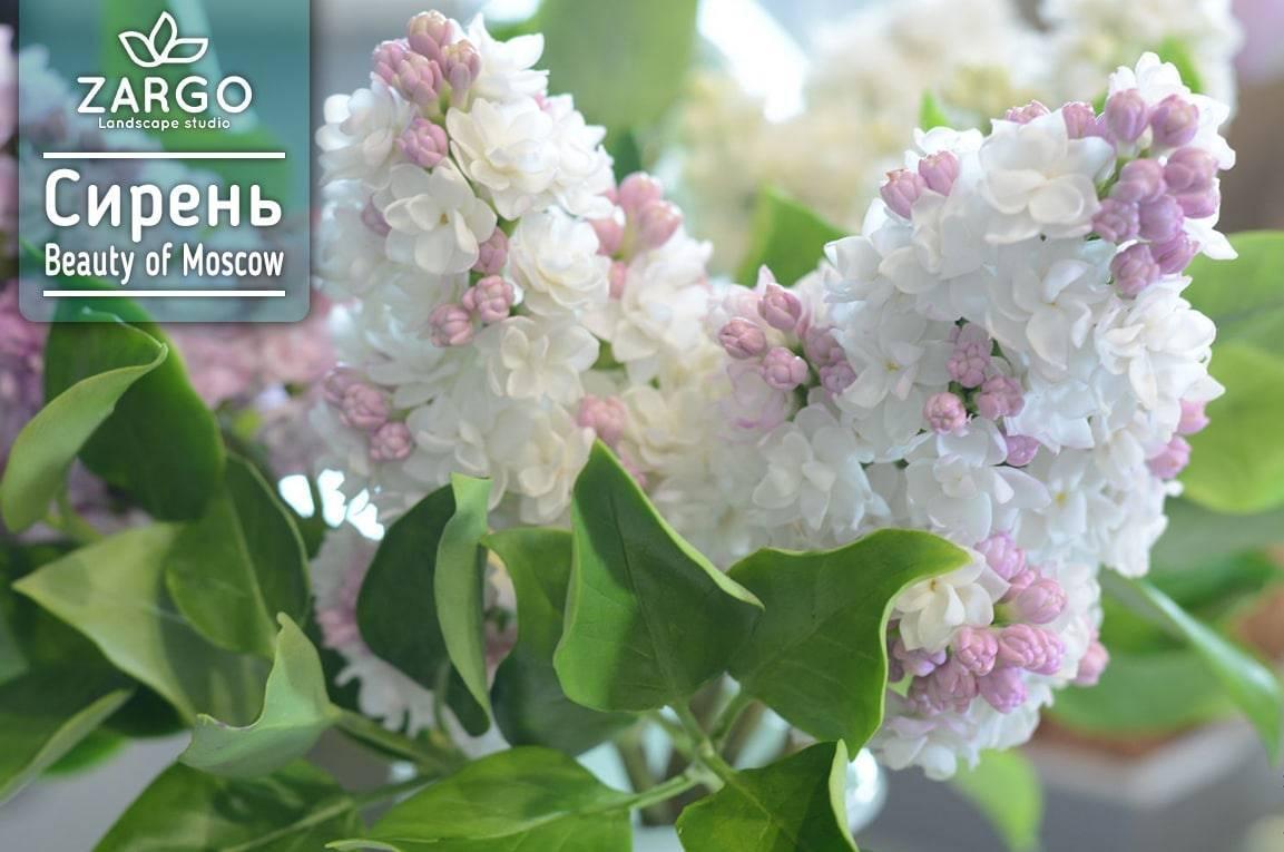 Сирень «красавица москвы»: описание, фото, посадка и уход