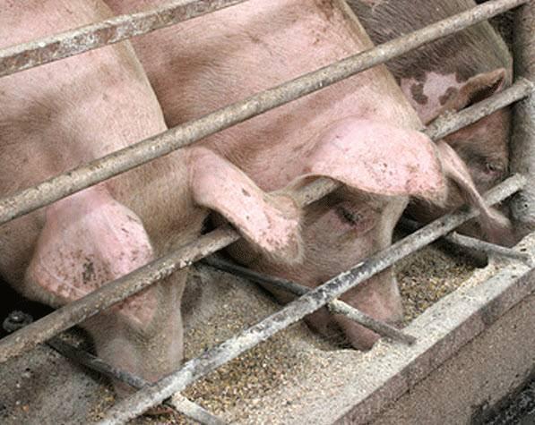 Кормление свиней: чем кормить в домашних условиях