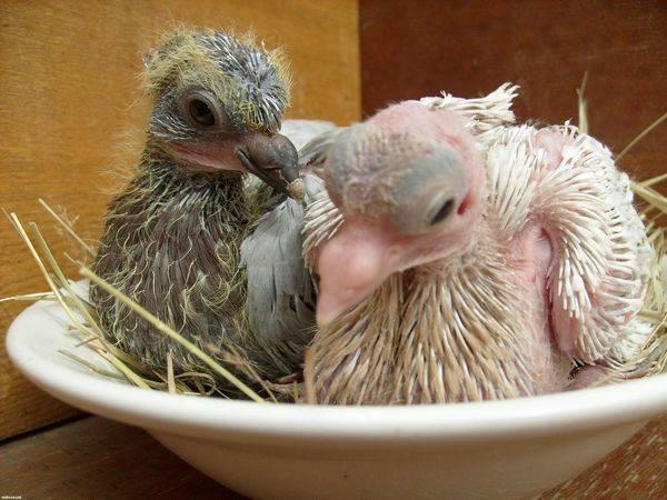 Голуби бросили голубенка((, как прогнать голубей с балконая | метки: голубибросать, свой, птенец, голубибросать, свой