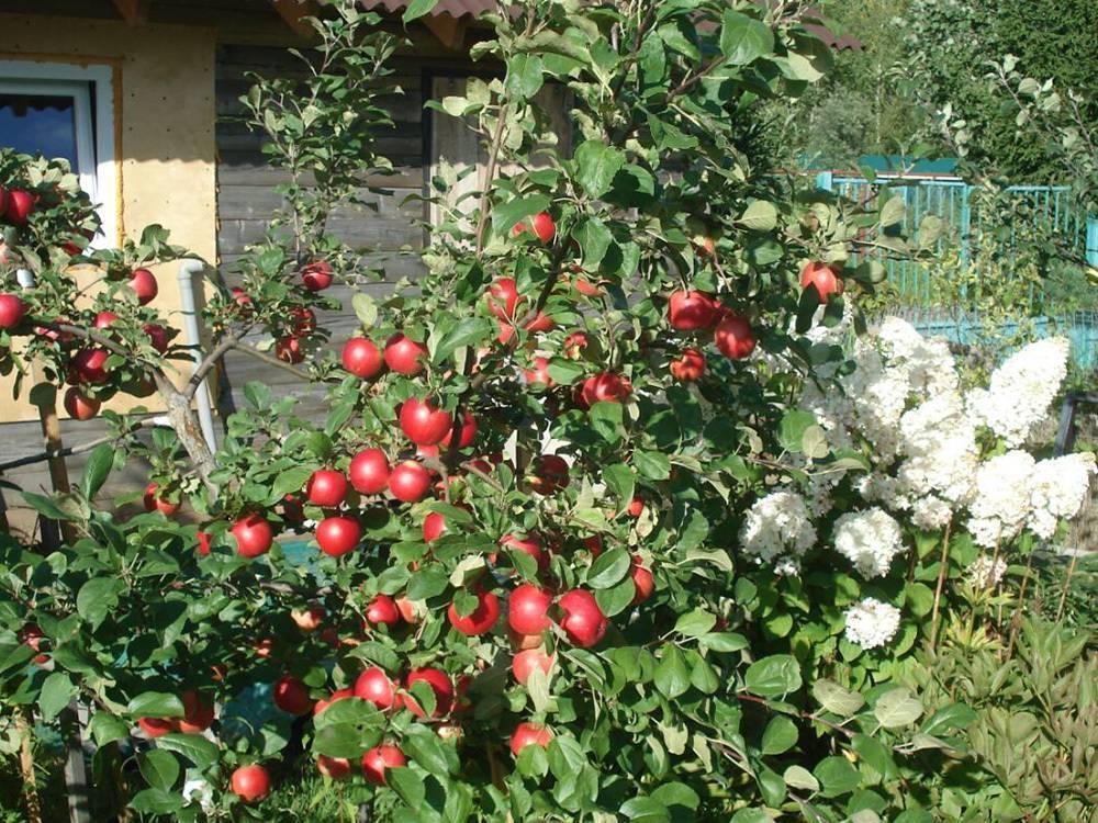 Яблоня кортланд описание сорта фото отзывы