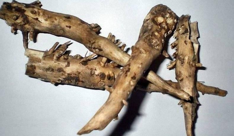 Полезные свойства корней подсолнуха
