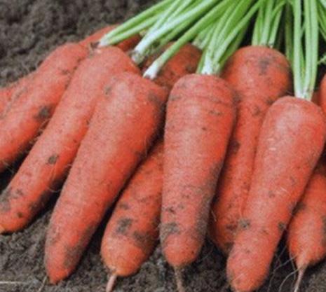 Характеристика моркови сорта абако