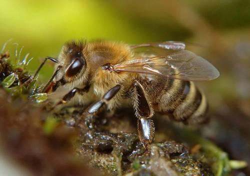 Рабочая медоносная пчела