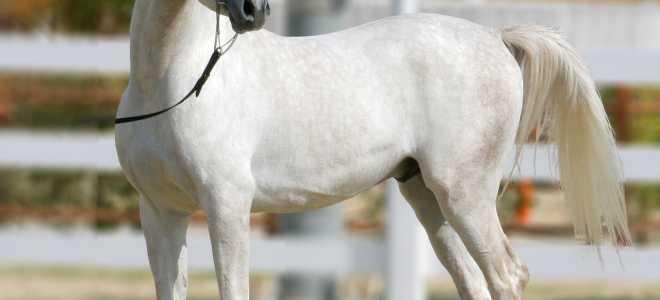 Арабская лошадь: описание породы, рост, характер