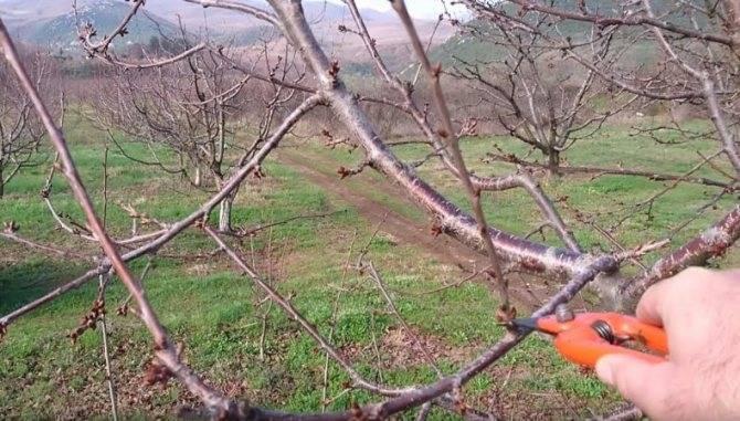 Когда и как сажать сливу весной и осенью