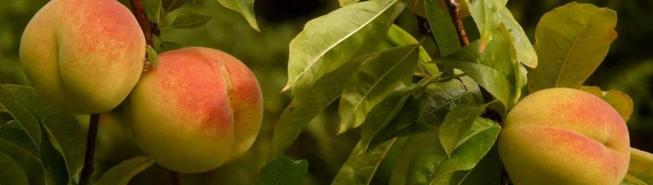 Болезни и лечение персика