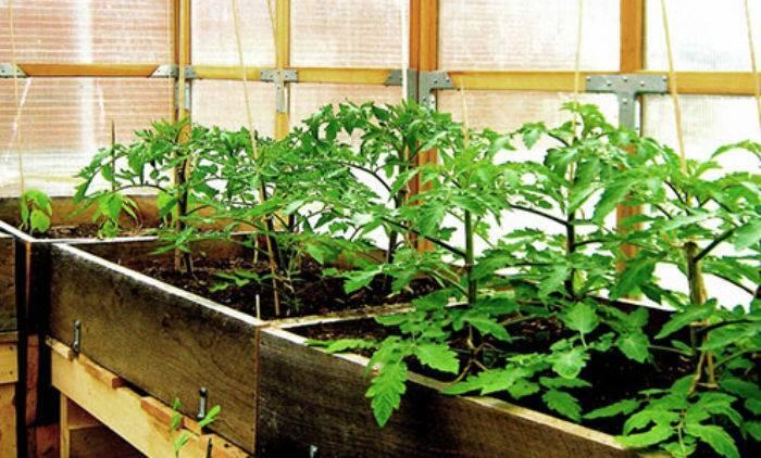 Подкормка рассады помидоров до, при и после пикировки: чем и когда питать в домашних условиях, какие первые удобрения для роста томатов, чтобы были толстенькие?