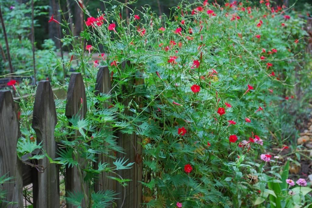 Обзор популярных вьющихся растений для дачи: фото и названия удачных решений