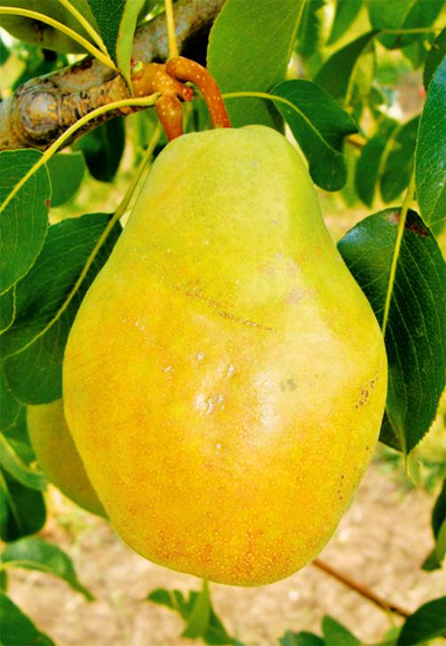 Описание и характеристики груши сорта дюшес (вильямс), выращивание и уход