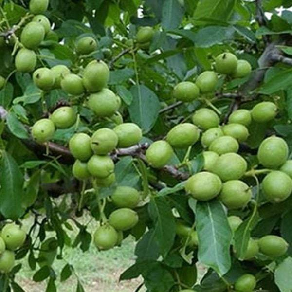 Особенности выращивания грецкого ореха сорта идеал