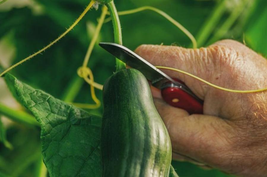 Май – июнь: когда сажать семена огурцов в открытый грунт
