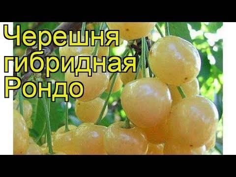 Черешня россошанская — описание сорта, фото, отзывы садоводов