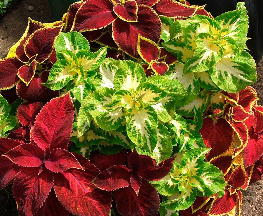 Как вырастить рассаду гейхеры: посев и уход в домашних условиях