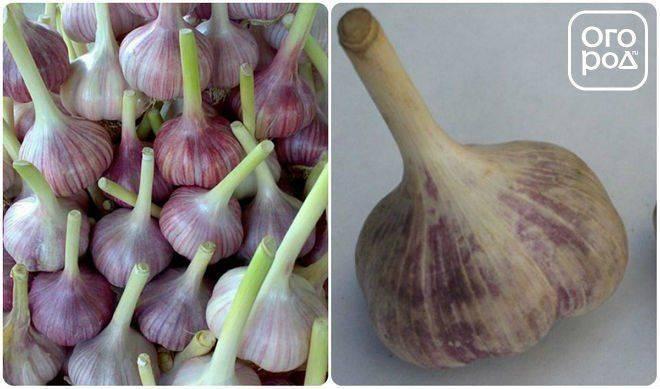 Описание сорта озимого чеснока грибовский, особенности выращивание и уход