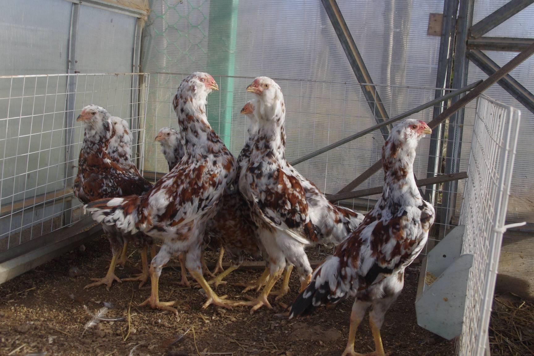 Орловская ситцевая порода кур: экстерьер, особенности содержания