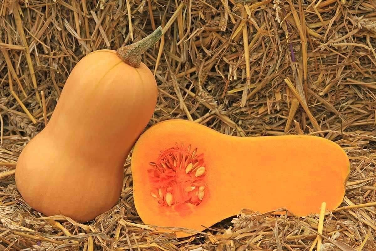 Тыква баттернат : выращивание и уход - польза и калорийность овоща
