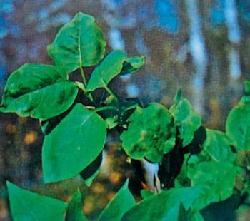 Болезни и вредители кустарников: описание и обработка растений
