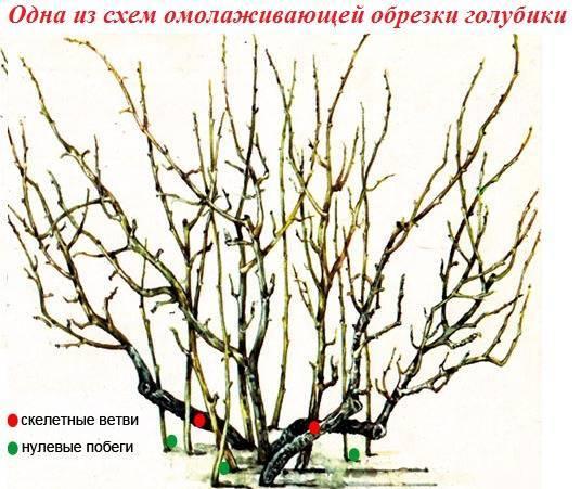 Условия и правила посадки садовой голубики