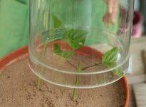 Как с помощью черенков размножить гортензию