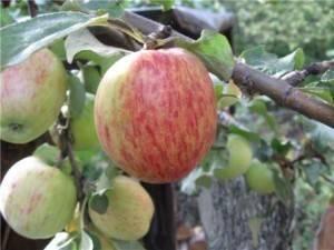 Яблоня для подмосковья: 39 летних, осенних и зимних сортов