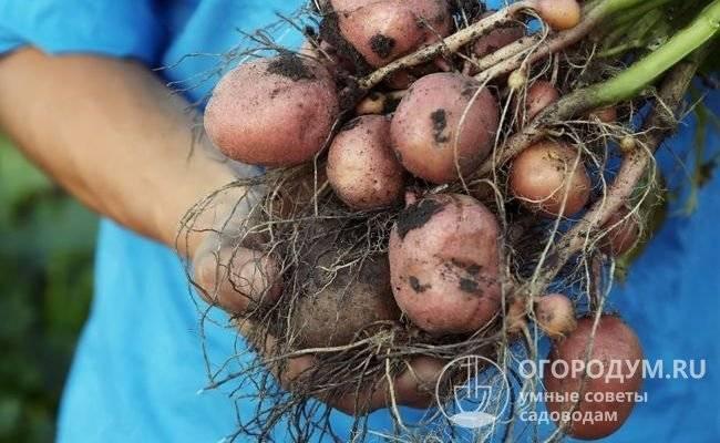 """Картофель """"красавчик"""": описание сорта, его особенности, фото, болезни и вредители"""