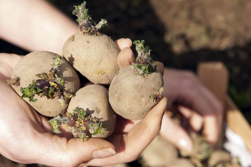 Выращивание картофеля в мешках: миф или реальность